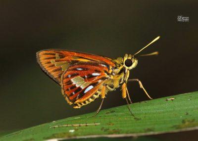 The Peninsular Lancerผีเสื้อเส้นปีกแดงแดนใต้Pyroneura callineura