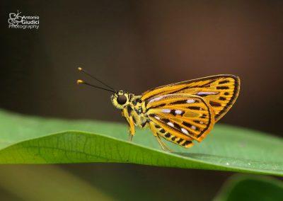 The Yellow-based Lancerผีเสื้อเส้นปีกแดงโคนเหลืองPyroneura helena