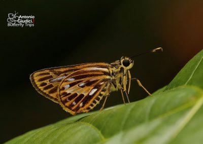The Short-streaked Lancerผีเสื้อเส้นปีกแดงขีดสั้นPyroneura latoia