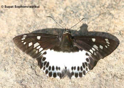 The Large White Flatผีเสื้อท้ายขาวใหญ่ธรรมดาSatarupa gopala