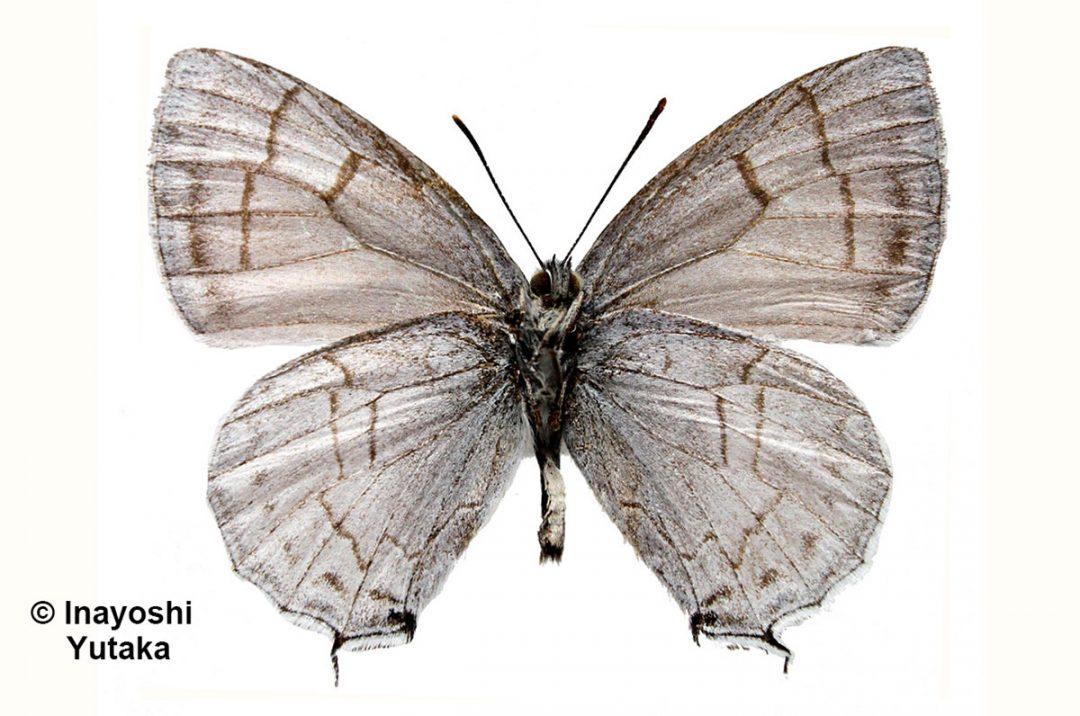 The Paona Hairstreakผีเสื้อเส้นมรกตพาโอนาShirozuozephyrus paona