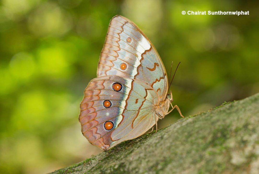 The Cambodian Junglequeenผีเสื้อนางพญาเขมรStichophthalma cambodia