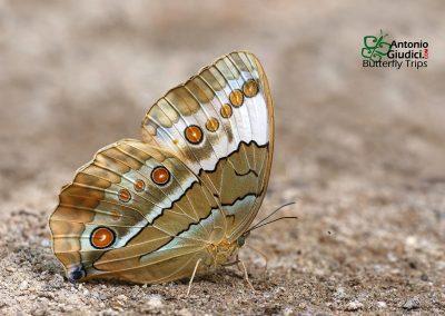 The Burmese Junglequeenผีเสื้อนางพญาพม่าStichophthalma luisa luisa