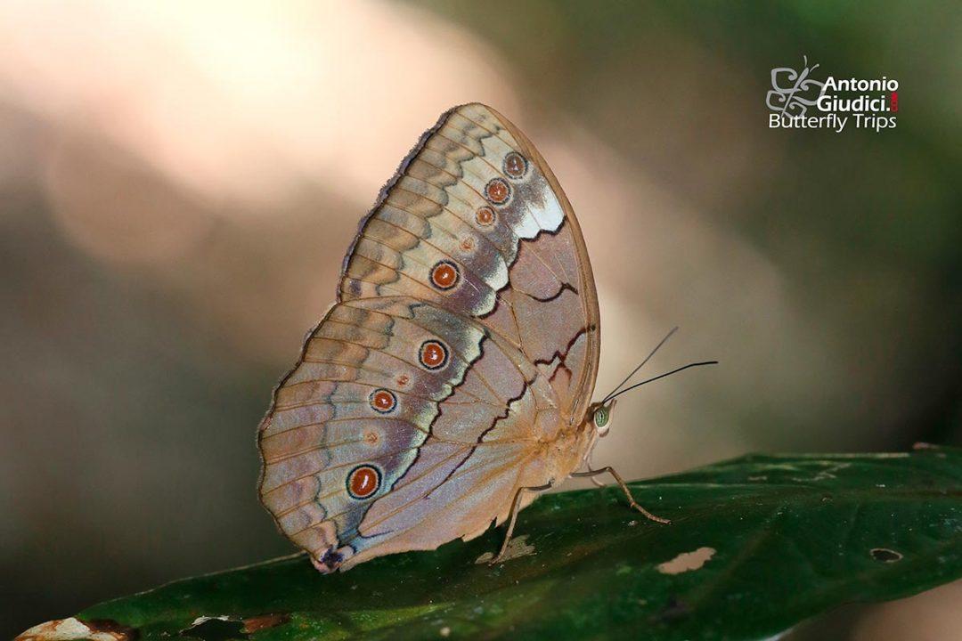 The Siamese Junglequeenผีเสื้อนางพญาสยามStichophthalma luisa siamensis