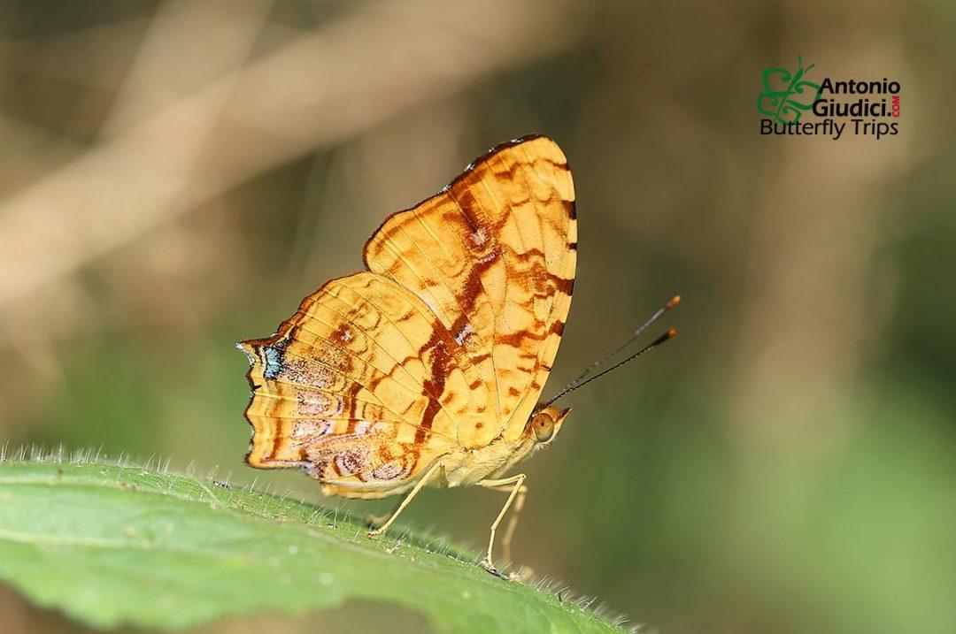 The Common Jesterผีเสื้อลายตลกธรรมดาSimbrenthia lilaea