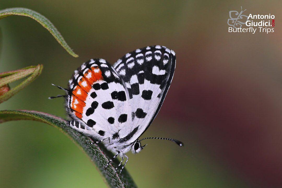 The Common Red Pierrotผีเสื้อกามเทพแดงธรรมดาTalicada nyseus
