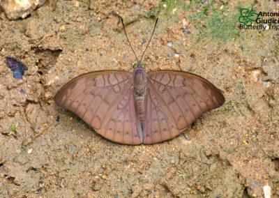 The Plain Earlผีเสื้อบารอนม่วงดำTanaecia jahnu