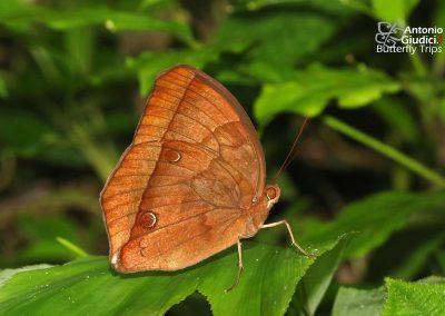 The Chocolate Junglegloryผีเสื้อดาราไพรสีตาลไหม้Thaumantis noureddin