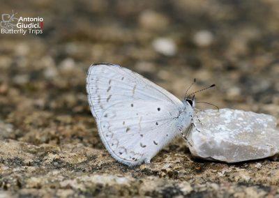 The Pale Hedge Blueผีเสื้อฟ้าพุ่มขอบปีกจางUdara dilecta