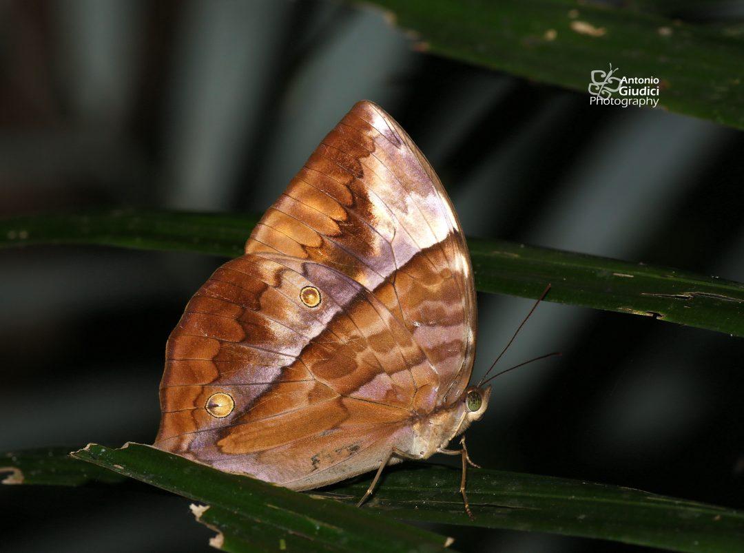 The Common Saturnผีเสื้อพระเสาร์ธรรมดาZeuxidia amethystus