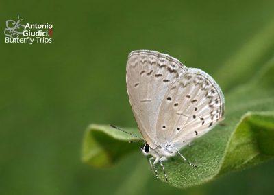 The Lesser Grass Blueผีเสื้อฟ้าดอกหญ้าZizina otis