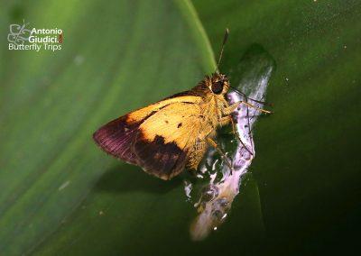 The Purple and Gold Flitterผีเสื้อม่วงทองธรรมดาZographetus satwa