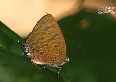The Sumatran Oakblueผีเสื้อฟ้าไม้ก่อเหลืองสุมาตราArhopala phaenops