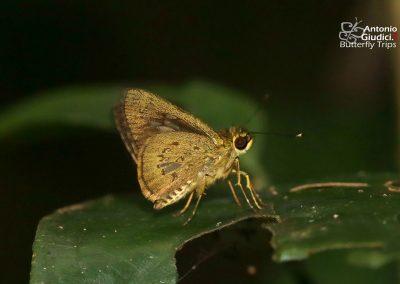 The Lesser Long-spot Flitterผีเสื้อนิลจุดยาวเล็กIsma bononia