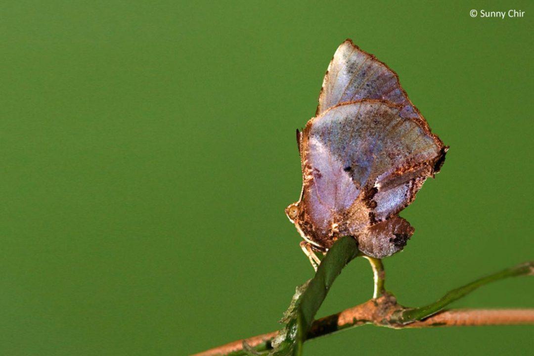 The Moth Butterflyผีเสื้อม้อธLiphyra brassolis