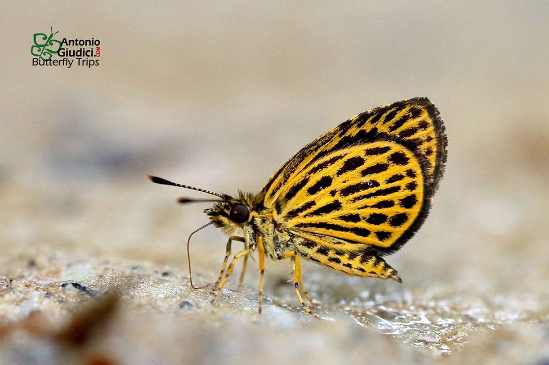 The Tiger Hopperผีเสื้อจิ๋วลายเสือOchus subvittatus
