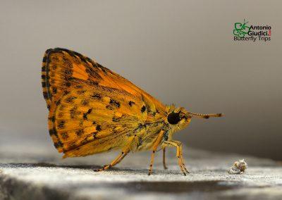 The Common Bush Hopperผีเสื้อจิ๋วป่าพุ่มธรรมดาAmpittia dioscorides