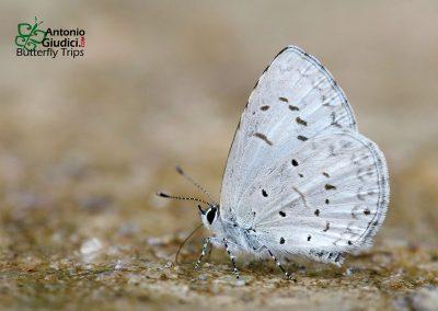 The Hampson's Hedge Blueผีเสื้อฟ้าพุ่มแถวจุดโค้งAcytolepis lilacea