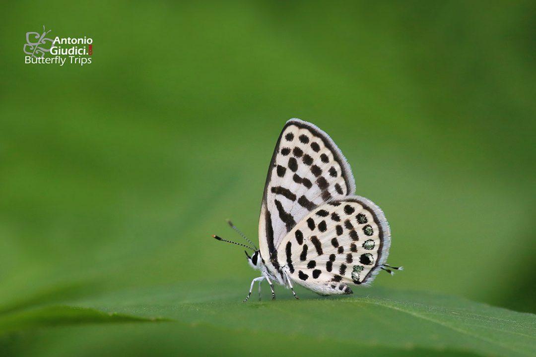 The Spotted Pierrotผีเสื้อหนอนพุทราลายจุดTarucus callinara