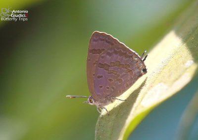 The Glazed Oakblueผีเสื้อฟ้าไม้ก่อขีดเฉียงArhopala paralea