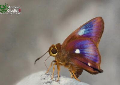 The Four-spotted Awln/aHasora quadripunctata
