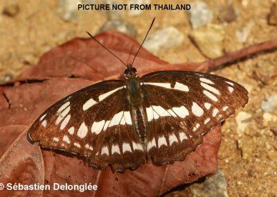 The Five-dot Sergeantn/aLimenitis sulpitia